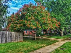Neighborhood tree (Pejasar) Tags: oklahoma tulsa foliage seedpods neighborhood summer tree