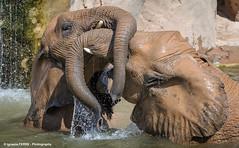 Trunks war (Ignacio Ferre) Tags: bioparc valencia zoo spain espaa trunk trompa elefante elephant loxodontaafricana loxodonta mammal mamfero animal nikon jugar playing elefanteafricanodesabana