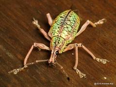 Exophthalmus sp., Curculionidae, Entiminae: Eustylini (Ecuador Megadiverso) Tags: andreaskay beetle coleoptera curculionidae ecuador entiminae loscedros weevil exophthalmussp eustylini idbyjennifercgirónduque