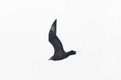 Parasitic Jaeger? (martytdx) Tags: capemay nj birding birds migrationfall2016 pelagics jaegers parasiticjaeger stercorariusparasiticus stercorarius stercorariidae lifelist higbeebeach higbeebeachwma