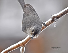 Titmouse - Ice Covered Limb (smileyoakimages) Tags: nature bird tufted titmouse winter ice raining snowing outdoors wild limb