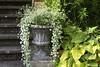Silberregen (bolliger51) Tags: garten gefäss topf dichondra dichondraargentea silberregen silverfalls zierpflanze gartenpflanze topfflanze blüte blütenpflanze burgdorf bern schweiz che