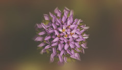 A bit of Mystery (charhedman - away on vacation) Tags: flower macro mystery bokeh circle
