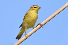 Felosa-musical - Willow warbler - Phylloscopus trochilus (Yako36) Tags: portugal peniche ferrel ave bird birdwatching nature natureza wildlife tc14e nikonafs300f4 nikond7000