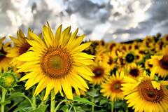 sunflowers after a downpour (Neal J.Wilson) Tags: flowers yellow tuscany italy sunflowers closeup nature clouds depthoffield europe nikon d3200 petals fields agriculture summer