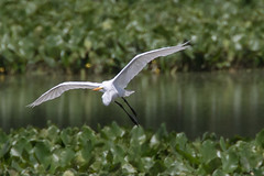 John Heinz National Wildlife Refuge 8-20-2016-205 (Scott Alan McClurg) Tags: aalba ardea ardeidae papilionidae philadelphia conservation egret flight fly flying glide gliding greatblueheron green gretegret johnheinzfederalwildliferefuge land landing life nature naturephotography park pennsylvania pond reflection water wetlands wild wildlife