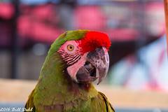 Parrot 1 (Bill Dahl 2 Million+ Views Club) Tags: copyright2016 avian birdphotography birds photographybybilldahl photobybilldahl photosbybilldahl photographerbilldahl billdahl billdahlphotography billdahlphotographer httpwwwbilldahlnet canoneos7d canon7d canon