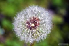 Dandelion (zulkifaltin) Tags: macro karahindiba dandelion ilk ilkbahar bahar spring