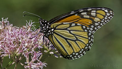 Monarch Butterfly on Joe-Pye Weed IMG_3741 (ronzigler) Tags: monarch butterfly nature insect canon 60d 300mm f4