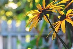 Sommer HFF (simson60) Tags: sommer hff garten flower tiefenschrfe zaun