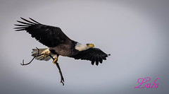 Harriett-American Bald Eagle (lh24smile) Tags: harriett american bald eagle swfl eagles nest