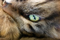 Nap Time Interuppted (A Wild Western Heart) Tags: chucky tabby chuckythehorrible nap cat eyes gato chat rescue cateyes katze