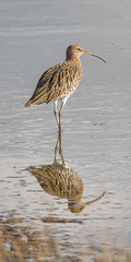 Curlew (DP the snapper) Tags: upton warren nature reserve reflection worcestershire
