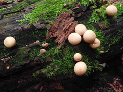 IMG_20160831_150029 (Alisa Jahary) Tags: nature forest mushroom mushrooms micology photo raincoat raincoats
