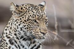 s AT Leopard_DSC_9382 (Andrew JK Tan) Tags: 2016 safari africa botswana mashatu outdoors leopard