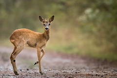 Chrevreuil (Quentin Douchet) Tags: capreoluscapreolus faune fort nature roedeer animal cervidae chevreuil fauna forest foret fortdefontainebleau