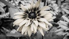 Pastel (1 of 1) (amndcook) Tags: blackwhite farm michigan outdoors browneyedsusan flower nature rudbeckia wildlife