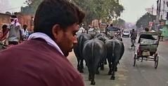 "INDIEN, india, ANkunft in Varanasi, 14389/7302 (roba66) Tags: indien indiennord asien asia india inde northernindia urlaub reisen travel explore voyages visit tourism roba66 city capital stadt cityscape benares varanasi cows rinder aufdenstrasen pilgerstadt pilger hindu hindui menschen people indianlife"" indianscene history brauchtum indiansequence ""street capture"" strasenszene büffl buffalo"