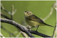 palm warbler (Christian Hunold) Tags: palmwarbler songbird bird woodwarbler palmenwaldsnger johnheinznwr philadelphia christianhunold