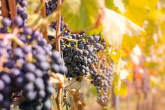 Herbst (sbenz84) Tags: rheinhessen rheinhessischetoskana nierstein autumniscoming herbst trauben weinlese wineyard wingert rieslingcity wein vino grapes autumn weinernte stephanbenz wwwstephanbenzde