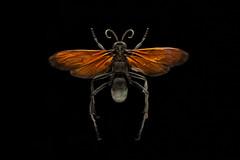 Pepsis Limbata (Fotgrafo - Comunicador Audiovisual) Tags: pepsis limbata macro insecto avispa vesp insect maule chile cost pelluhue estudio studio pompilidae hymenoptera