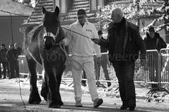 DSC_3615 (Ton van der Weerden) Tags: horses horse de cheval nederlands belges draft chevaux belgisch trait gerwen trekpaard trekpaarden veulenkeuring veulenkeuringgerwen2012