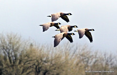 Tight Formation [Explored] (Gary Grossman) Tags: fly geese northwest flight formation wetlands pacificnorthwest canadageese wetland flyway pacificflyway tightformation