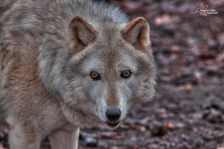 The Stare ~ Tundra Wolf