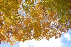 Leaves (peaceful-jp-scenery) Tags: autumn leaves leaf maple minolta sony   atami amount   plumpark powerzoom  dslra900 900 af35200mmxif4556