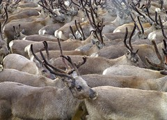 Reindeer  in Norway (Frans.Sellies) Tags: christmas xmas animal norway reindeer norge norwegen antlers ren caribou merrychristmas rentier noorwegen noreg karibu rendier kariboe gewei renntier rendeer abigfave p1050151