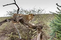 """Leopard in Namibia • <a style=""""font-size:0.8em;"""" href=""""https://www.flickr.com/photos/21540187@N07/8292735628/"""" target=""""_blank"""">View on Flickr</a>"""