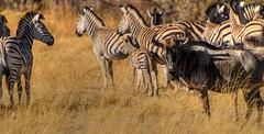 "Blue Wilderbeest with Zebra in Okavango Delta, Botswana • <a style=""font-size:0.8em;"" href=""https://www.flickr.com/photos/21540187@N07/8293291057/"" target=""_blank"">View on Flickr</a>"