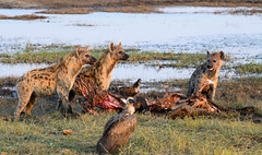 """Spotted Hyena with kill in Chobe National Park, Botswana • <a style=""""font-size:0.8em;"""" href=""""https://www.flickr.com/photos/21540187@N07/8293304701/"""" target=""""_blank"""">View on Flickr</a>"""