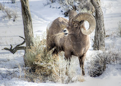 Big Horn Ram on the Gardner River (Deby Dixon) Tags: nature photography nationalpark wildlife yellowstone ram bighornsheep debydixonphotography