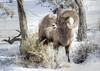 Big Horn Ram on the Gardner River (Deby Dixon) Tags: nature photography nationalpark wildlife yellowstone ram bighornsheep debydixonphotography