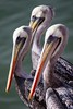 Three's Company (Universal Stopping Point) Tags: chile pelicans three feathers arica