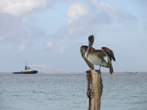 Brown pelican in front of Aruba oil spill