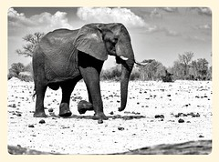 Black & White Elephant (paulafrenchp) Tags: safari zimbabwe elephants hwange makaololo
