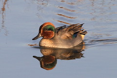 Male Teal, RSPB Titchwell, Norfolk (Andy_Hartley) Tags: mygearandme mygearandmepremium mygearandmebronze
