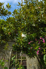Magnolia, Nymans, West Sussex, UK, , ,  (Akiko Morita) Tags: uk travel light holiday inspiration plant west flower colour english history love nature architecture garden landscape photography sussex photo europe tour image gardening nt vibrant joy picture historic romantic british  inspirational  horticulture       sensation                      nymans