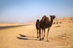 ' camel (Hessa Alharbi     ) Tags: camera mountain canon photography 50mm flickr photographer cam pic mount h camel 600 mm 50 camels    d600     600d       hessa                   shedgum  alharbi