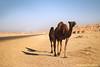 الابل ' camel (Hessa Alharbi || حصه الحربي) Tags: camera mountain canon photography 50mm flickr photographer cam pic mount h camel 600 mm 50 camels صور البر ماشاءالله d600 جمال صوره تصوير الجو 600d بعير فلكر جبل جبال جو مصوره hessa رمال جمل ابل رمل عدسة ازرق كام بني بعارين كاميرا كانون سما السماء حصه الابل دي مم الحربي shedgum فوتوغرافي alharbi حوير فوتوغرافيه شدقم