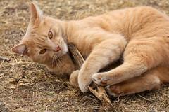 Nash Farm Cat (TexasEagle) Tags: cat texas grapevine nashfarm beautifulworldchallenges