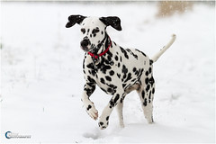 Dalmatian playing in the snow (Dom Pilling) Tags: winter england dog white snow playing ice field puppy nose jumping sitting country ears frosty running spots spotty fields snowing icy collar flakes dalmatian dalmatians dalmtian pillingphotography