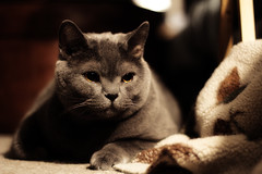Loki (Introvert With a Camera) Tags: cute cat grey kitten fat adorable kitty chub short loki thor chubby chunk plump chubb britishshorthair chunky chubbs smushy plumpy britishshothaircat