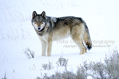 Grey wolf (Deby Dixon) Tags: winter tourism nature photography nationalpark travels wolf wildlife yellowstonenationalpark yellowstone wyoming greywolf debydixonphotography
