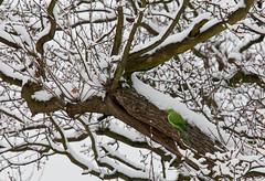 Something's not right? (David Haslehurst) Tags: winter snow cold tree green bird branch nest snowy branches parakeet twigs oaktree psittaculakrameri roseringedparakeet 2013 canon5dmkii mygearandme