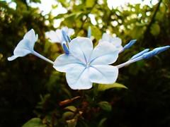 Blanquiazul (Maya Dusty) Tags: flowers blue flores dusty nature azul maya samsung plumbago st77 mayadusty samsungst77