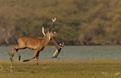 nilgai (Boselaphus tragocamelus) (Manan103) Tags: lake animal wildlife gujarat nilgai beautifulphoto nikond90 nikonfamily thollake flickrawardgallery mananpatel