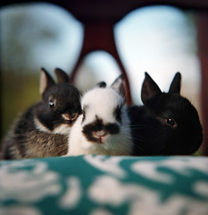 buns all in a row: postapalooza #29 (manyfires) Tags: cute bunnies film animal analog mediumformat square portland furry chair babies fuzzy bokeh hasselblad kits pdx rabbits hasselblad500cm animalscape